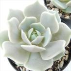多肉植物 skエケベリア ローラ 多肉植物 エケベリア 7.5cmポット