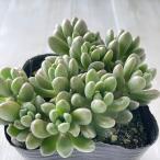 seセダム大型玉葉 ジェットバース 多肉植物 セダム 9cmポット