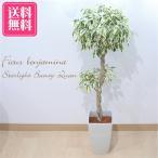 フィカス ベンジャミン スターライト ビューティークイーン 6号鉢 送料無料 観葉植物 インテリア