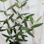 オリーブの木 ひなかぜ 観葉植物 オリーブ 苗 10.5cmポット
