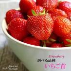 選べるいちご苗 9cmポット イチゴ 苺 予約販売10月上旬以降発送