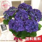 早割 母の日 ギフト アジサイ ディープパープル 5号鉢 送料無料 贈り物 プレゼント あじさい 紫陽花 花 鉢植え