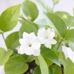 アラビアンジャスミン 茉莉花 まつりか マツリカ ジャスミンティー 花苗 10.5cmポット 鉢植え