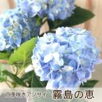 四季咲あじさい 霧島の恵 アジサイ 紫陽花 9cmポット苗