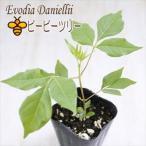 ビービーツリー 9cmポット 観葉植物 シンボルツリー 蜜源樹 ミツバチ