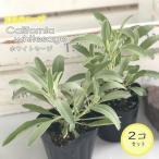 カリフォルニア ホワイトセージ 2個セット ハーブ 苗 スマッジング 宿根草 9cmポット
