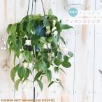 予約販売 冬咲きクレマチス アンスンエンシス 5号鉢 クレマチス ホワイトベル 花苗 11月下旬以降発送
