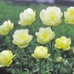 予約販売 宿根草の咲く庭 トロリウス ニュームーン 宿根草苗 9cmロングポット ガーデニング 多年草