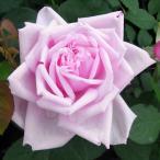 バラ大苗 バラ 苗 薔薇 ラフランス CL つるバラ 予約販売