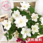 まだまだ間に合う母の日 ギフト クレマチス 四時川 母の日 贈り物 プレゼント 花 鉢植え 5号鉢 送料無料 母の日2021