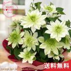 まだまだ間に合う母の日 ギフト クレマチス 華川 母の日 贈り物 プレゼント 花 鉢植え 5号鉢 送料無料 母の日2021