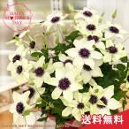 母の日 ギフト クレマチス テッセン 6号鉢 送料無料 贈り物 プレゼント 花 鉢植え 母の日2021