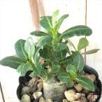 多肉植物 caアデニウム アラビカム 多肉植物 コーデックス アラビクム 9cmポット