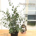 ハートリーフユーカリ ウェブステリアナ 5号鉢 観葉植物 ユーカリ ハーブ シンボルツリー