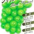 ブドウ シャインマスカット ぶどう苗 葡萄 果樹苗 10.5cmポット