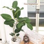 フィカス ベンガレンシス オードリー 7号鉢 送料無料 観葉植物 苗 インテリア おしゃれ ゴムの木