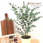 ユーカリ グーニー 4号鉢 グニー 苗 観葉植物 ハーブ 常緑高木 インテリア おしゃれ