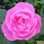 予約販売 バラ大苗 ラ レーヌ ビクトリア オールドローズ バラ 薔薇 バラ苗
