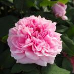 予約販売 バラ大苗 ジャック カルティエ オールドローズ バラ 薔薇 バラ苗