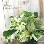斑入りアジサイ スフレ 9cmポット アジサイ 紫陽花 ガーデニング カラーリーフ