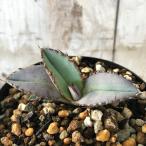 多肉植物 caアガベ チタノタ ブルー 実生 多肉植物 アガベ コーデックス 7.5cmポット