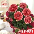 まだまだ間に合う母の日 ギフト ダリア タンピコ 母の日 贈り物 プレゼント 花 鉢植え 5号鉢 送料無料 母の日2021