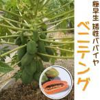 予約販売 極早生 矮性パパイヤ ベニテング 苗 メス木 10.5cmポット パパイヤ 健康野菜 4月上旬以降発送
