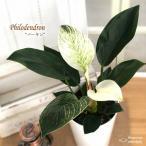 フィロデンドロン バーキン 6号鉢 送料無料 観葉植物 インテリア おしゃれ