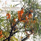 シーベリー フルガナ 6号鉢 サジー 苗 苗木 果樹