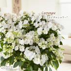 アジサイ ラグランジア ブライダルシャワー 3.5号鉢 あじさい ガクアジサイ 紫陽花 花 鉢植え