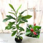 ミラクルフルーツ 6cmポット 苗木 果樹苗
