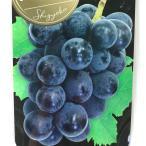 ブドウ シギョク ぶどう苗 葡萄 果樹苗 10.5cmポット