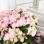 予約販売 アジサイ ハイドランジア フレンチボレロ 3.5号鉢 送料無料 あじさい ガクアジサイ 紫陽花 花 鉢植え 10月中旬以降発送