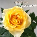 予約販売 ミニバラ ゴールデンアロハコルダーナ 3号ポット バラ 薔薇 バラ苗 苗 mnu 10月下旬以降発送