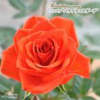 予約販売 ミニバラ パサデナコルダーナ 3号ポット バラ 薔薇 バラ苗 苗 mnu 10月下旬以降発送