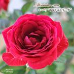 予約販売 ミニバラ ボルドコルダーナ 3号ポット バラ 薔薇 バラ苗 苗 mnu 10月下旬以降発送