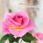 予約販売 ミニバラ アンティークコルダーナ 3号ポット バラ 薔薇 バラ苗 苗 bry 10月下旬以降発送