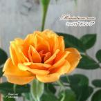予約販売 ミニバラ オレンジ 3号ポット バラ 薔薇 バラ苗 苗 bry 10月下旬以降発送