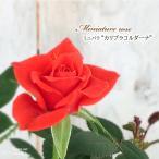 予約販売 ミニバラ カリブラコルダーナ 3号ポット バラ 薔薇 バラ苗 苗 bry 10月下旬以降発送