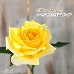 予約販売 ミニバラ サンメイドコルダーナ 3号ポット バラ 薔薇 バラ苗 苗 bry 10月下旬以降発送