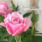 予約販売 ミニバラ シックコルダーナ 3号ポット バラ 薔薇 バラ苗 苗 bry 10月下旬以降発送