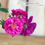 予約販売 ミニバラ スイートシャリオット 3号ポット バラ 薔薇 バラ苗 苗 bry 10月下旬以降発送
