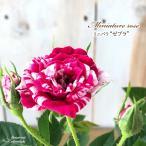 予約販売 ミニバラ ゼブラ 3号ポット バラ 薔薇 バラ苗 苗 bry 10月下旬以降発送