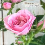 予約販売 ミニバラ パープルピンク 3号ポット バラ 薔薇 バラ苗 苗 bry 10月下旬以降発送