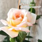 予約販売 ミニバラ パフューマコルダーナ 3号ポット バラ 薔薇 バラ苗 苗 bry 10月下旬以降発送