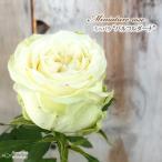 予約販売 ミニバラ パルコルダーナ 3号ポット バラ 薔薇 バラ苗 苗 bry 10月下旬以降発送