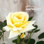 予約販売 ミニバラ フレグランス 3号ポット バラ 薔薇 バラ苗 苗 bry 10月下旬以降発送