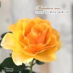 予約販売 ミニバラ マンダリナコルダーナ 3号ポット バラ 薔薇 バラ苗 苗 bry 10月下旬以降発送