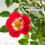 予約販売 ミニバラ リトルアーチスト 3号ポット バラ 薔薇 バラ苗 苗 bry 10月下旬以降発送