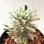 多肉植物 sdユーフォルビア ほほえみパイン 7.5cmポット 斑入りパイナップルコーン 蘇鉄麒麟 サボテン